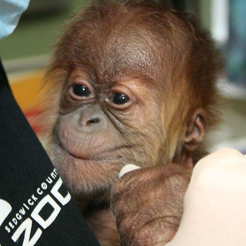 Sedgwick_county_zoo_orangutan-6