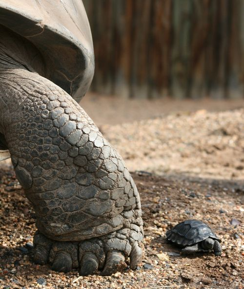 Galapagos-Tortoise-hatchling-31.5.11-004CROP