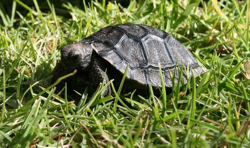 Galapagos-Tortoise-hatchling-20.5.10-022CROP