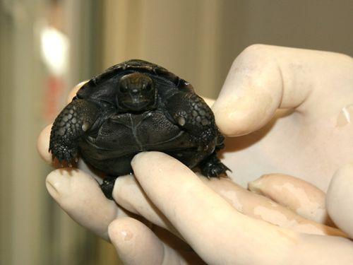 Galapagos-Tortoise-hatchling-019CROP