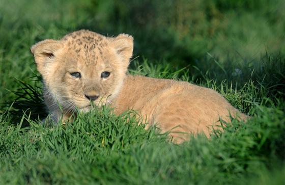 Monarto-Zoo-Lion-Cub