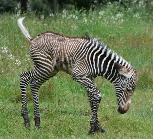 Zebra 2 crop