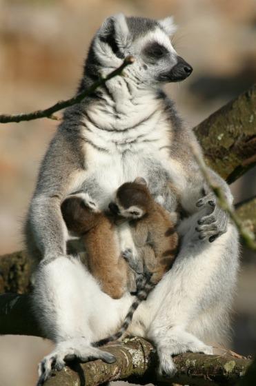 Baby Ringtails w mum