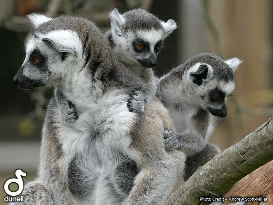 Baby lemurs ll06 web