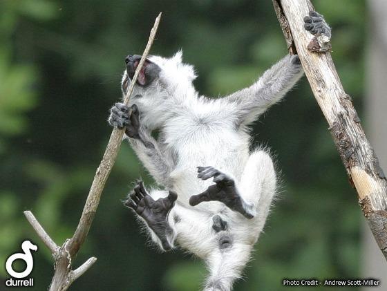 Baby lemurs ll04 web