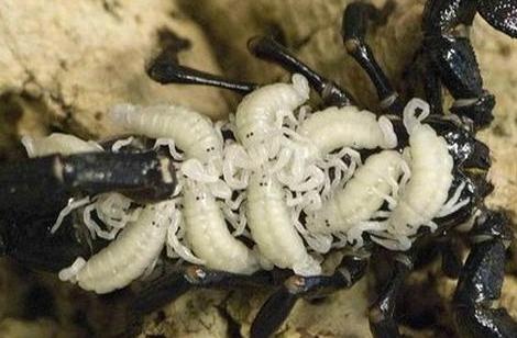 Baby Scorpions - Scorplings!!! 2b