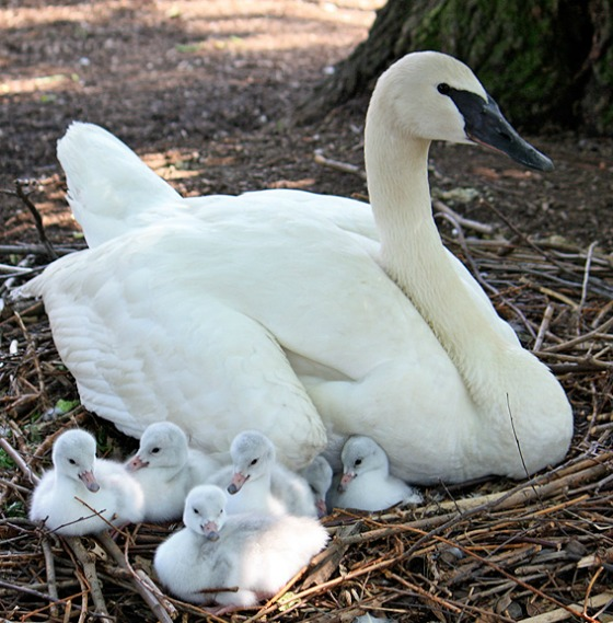 Trumpeter Swan Cygnets Cleveland Metroparks Zoo 4