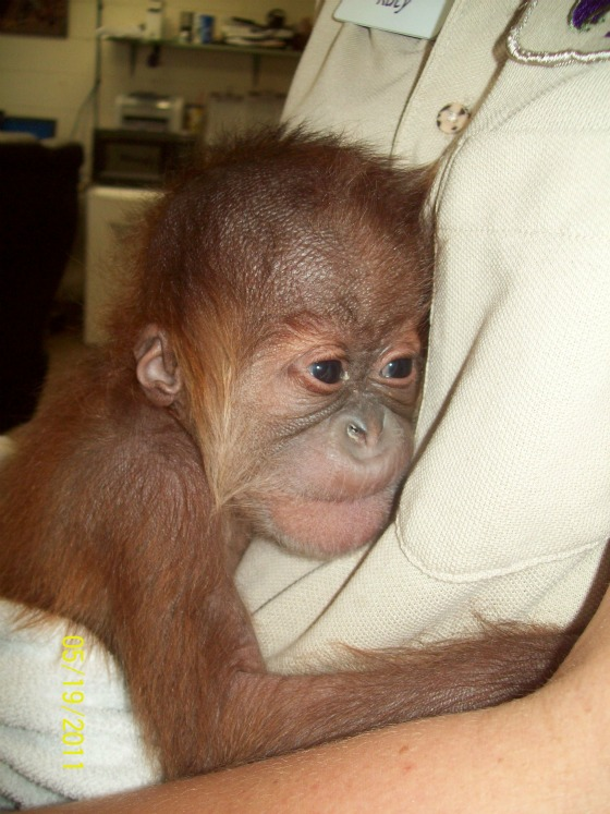Baby orangutan clinging to keeper at Sedgwick County Zoo