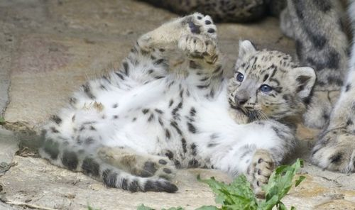 Snow Leopard Cub Playing at Zoo Basel