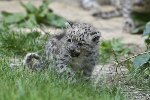 Adventurous Little Cub at Zoo Basel