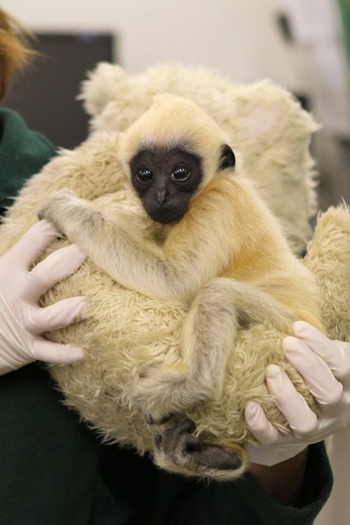 Gibbon-PerthZoo16