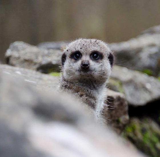 Older meerkat