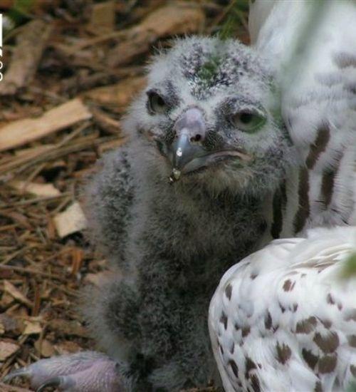 Owlet CU