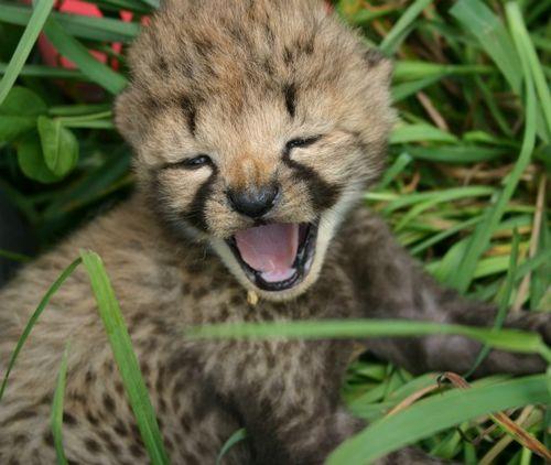 Cheetah mouth