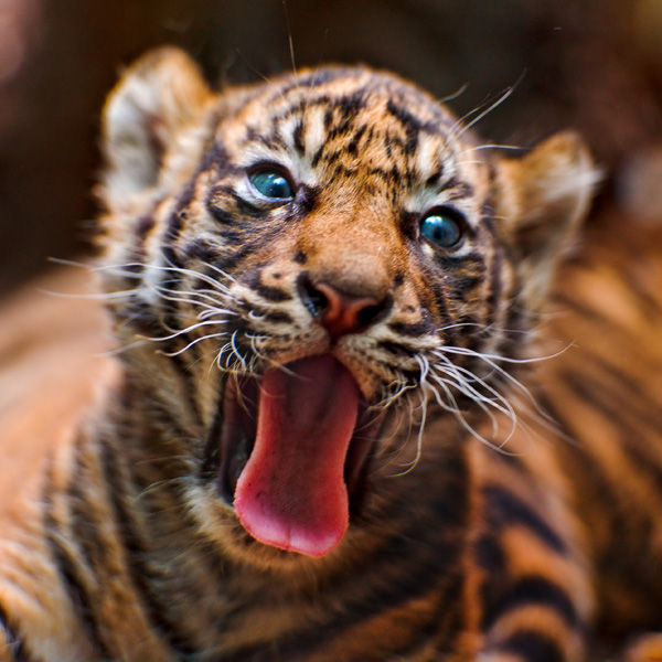Seeing Double Sumatran Tiger Cubs At Frankfurt Zoo Zooborns