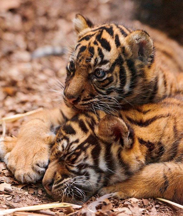 Frankfurt-Zoo-Tiger-Cubs--5
