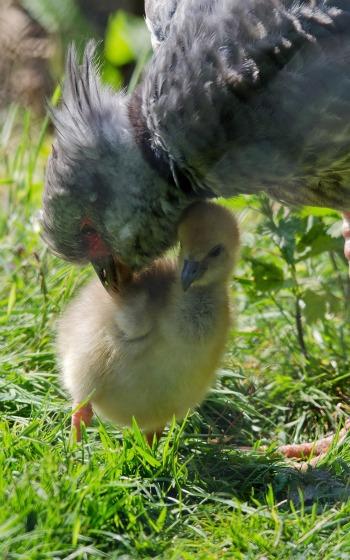 2 chick