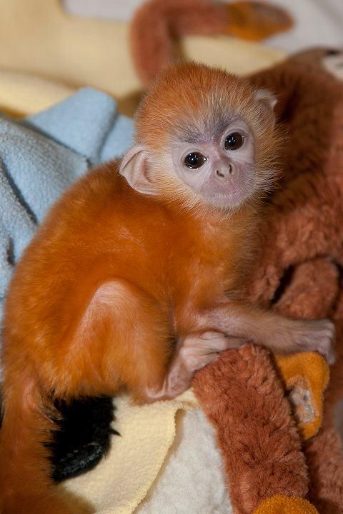 San Diego Zoo Silver Leaf Monkey 2
