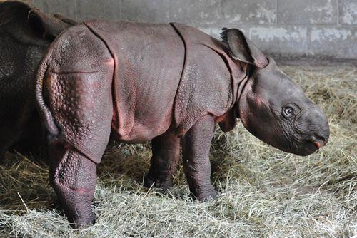 Rhino_Lowry_Park_Zoo_4