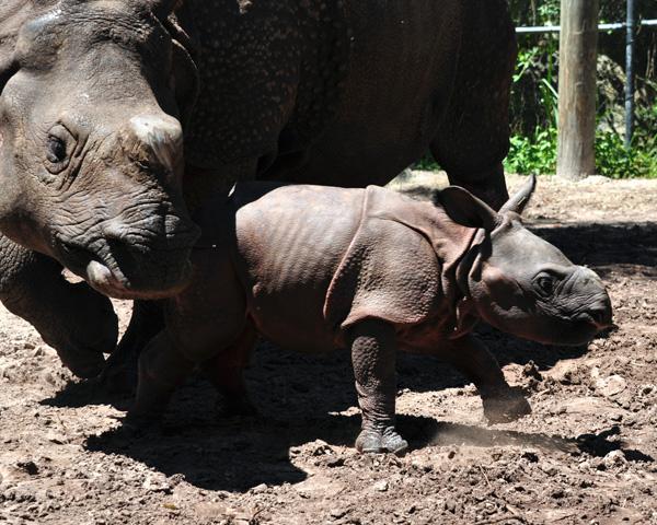 Rhino_Lowry_Park_Zoo_3