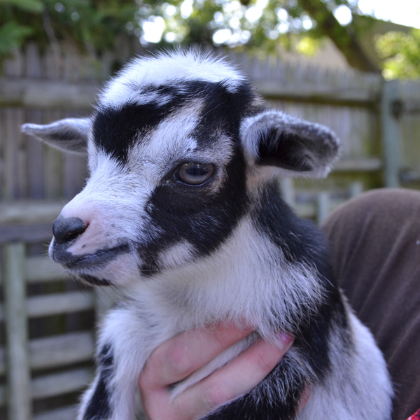 African-Pygmy-Goats-1