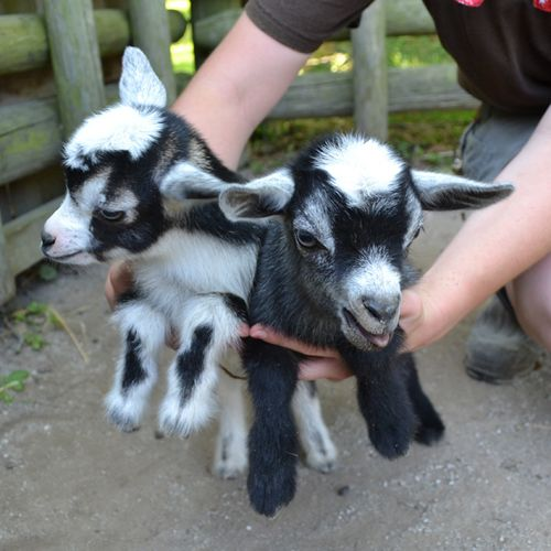 African-Pygmy-Goats-2