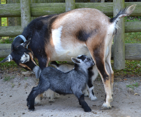 African-Pygmy-Goats-3