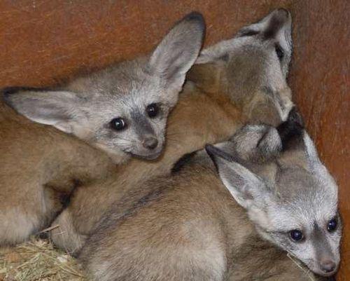 OK fox trio