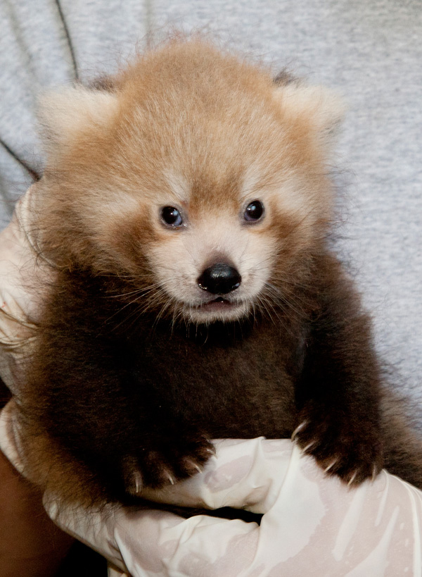 National-Zoo-Red-Panda