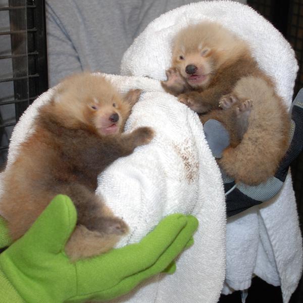 National-Zoo-Red-Panda-8