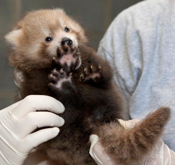 National-Zoo-Red-Panda-3