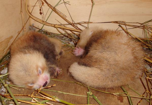 National-Zoo-Red-Panda-6