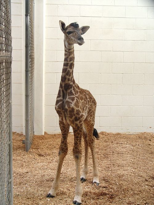 Virginia-Zoo-Giraffe-Baby