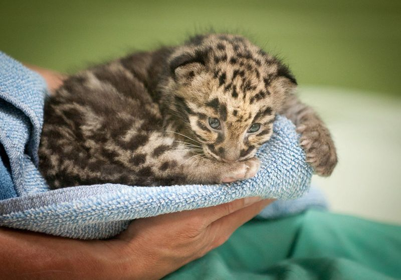 Point Defiance Zoo Leopard Update 8