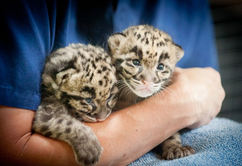 Point Defiance Zoo Leopard Update 10