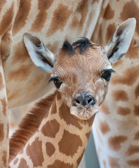 GirafeCU