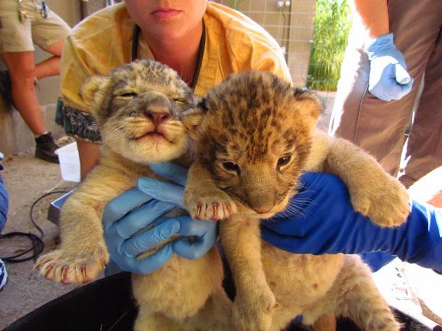 Reid-Park-Zoo-Lion-Cubs