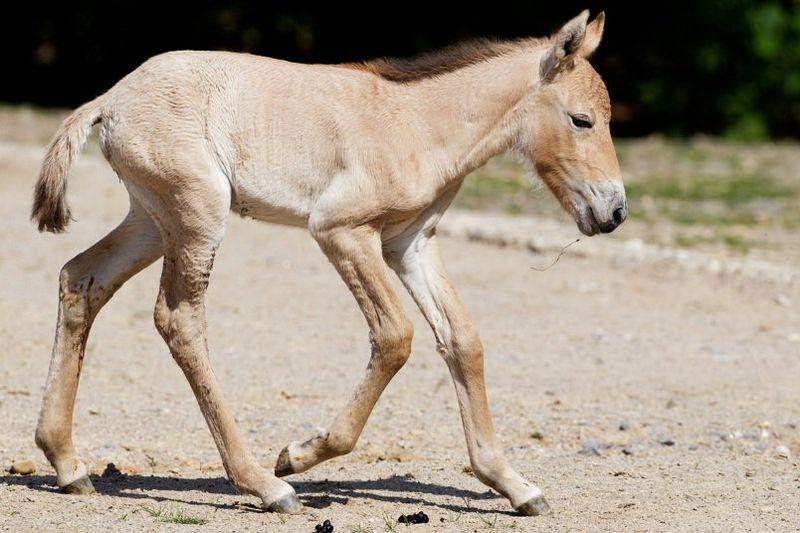 Przewalski's Horse - Prague 6