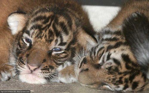 Cubs-3-weeks-1-lg