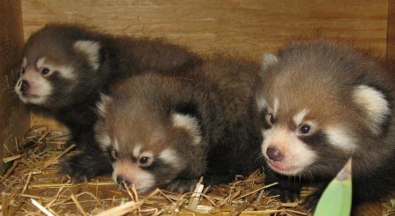三つ子のレッサーパンダの赤ちゃん