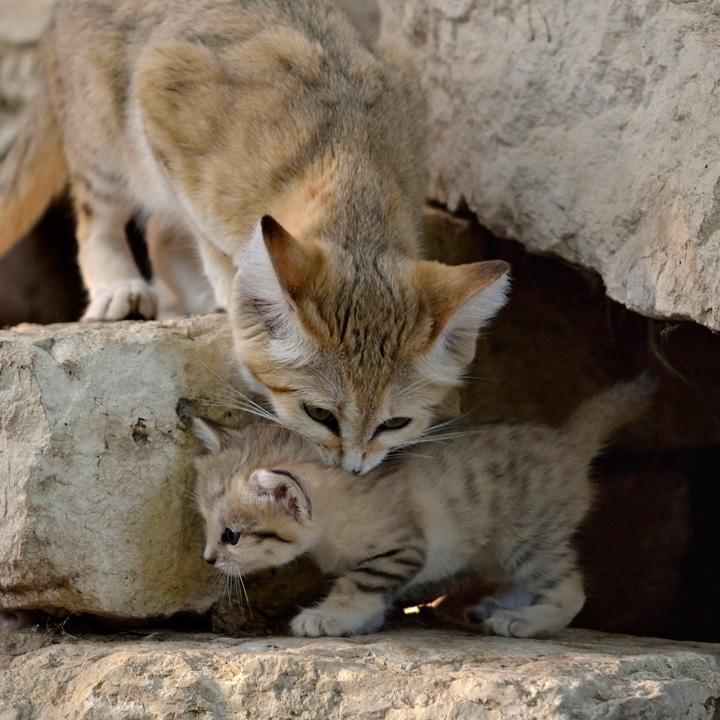 Sand-Cats-Tel-Aviv-Ramat-Gan-6