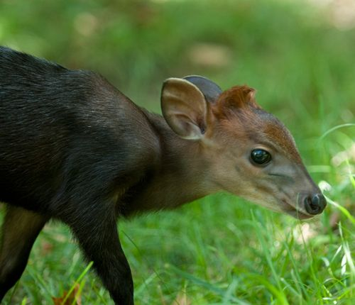 Duiker-baby---G.-Jones,-Columbus-Zoo-and-Aquarium-2
