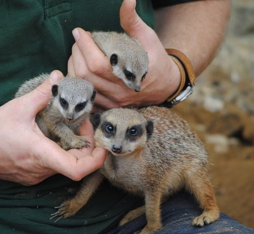 Meerkat-babies-4-(c)-Sam-Harwood---please-credit-when-used