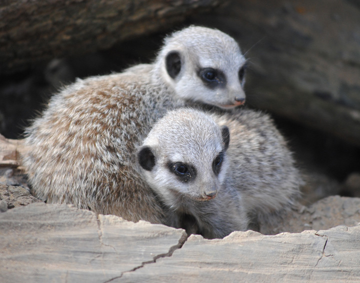 Meerkat-babies-1-(c)-Sam-Harwood---please-credit-when-used