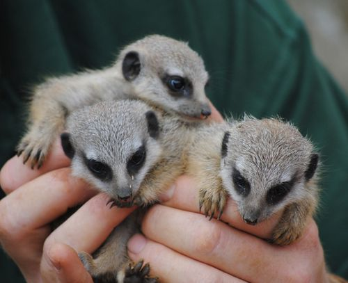 Meerkat-babies-3-(c)-Sam-Harwood---please-credit-when-used