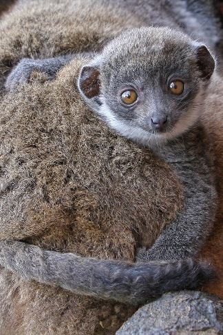 Mongoose Lemur baby born Linton Zoo 13.05.11 shown at two months old