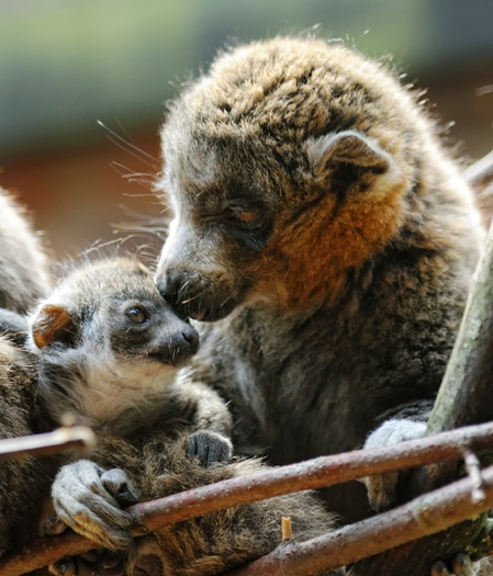 Mongoose Lemur baby born Linton Zoo 13.05.11 shown at two months old (4)