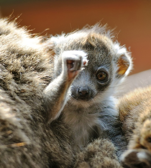 Mongoose Lemur baby born Linton Zoo 13.05.11 shown at two months old (5)