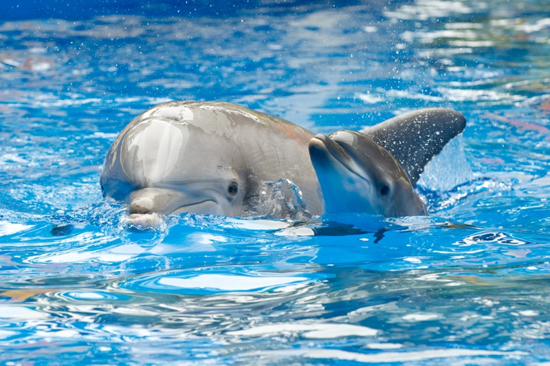 Dolphin Mom Arial and Calf - SeaWorld2