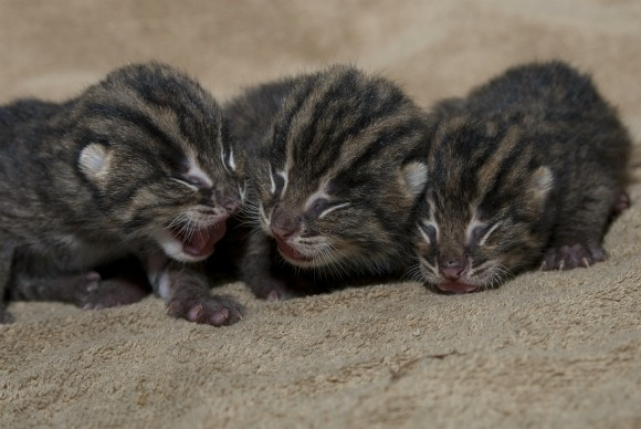 Fishing Cat Kittens 02 - G. Jones, Columbus Zoo and Aquarium